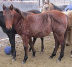 2015 bay filly by Blue Okie Joe out of a Frenchman's Guy- Streakin Six- Boon Dox John- Caseys Charm mare