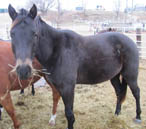 Coming 3 year old gelding by Blue Okie Joe out of a daughter of Streak of Fling and a Lady Bugs Moon- Tiny Watch bred mare